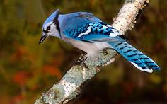 https://flic.kr/p/wNify1 | Northern Blue Jay | This shot was taken in Algonquin Provincial Park in Ontario, Canada.