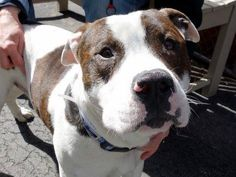 SAFE 03/28/15!  Was TO BE DESTROYED - 03/28/15 Manhattan Center - P  My name is DOGO. My Animal ID # is A1030772. I am a male white and br brindle american staff. The shelter thinks I am about 1 YEAR 6 MONTHS old. For more information on adopting from the NYC AC&C, or to find a rescue to assist, please read the following: http://urgentpetsondeathrow.org/must-read/