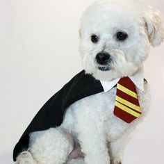 In the popular Harry Potter series emphasis is placed on the magical abilities of humans.  However, humans are not the only creatures with magical tendencies. Dogs too have the ability to unleash their inner wizard… How to turn your dog from a muggle to a wizard! http://cooldogcostumes.com/release-your-dogs-inner-wizard-with-the-harry-potter-dog-costume/