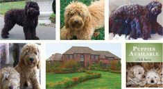 Best place to get an Australian labradoodle.