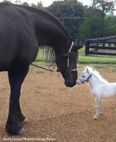 Rainbow Heart Little Prince and his Friesian friend. Gentle Carousel Miniature Therapy Horses