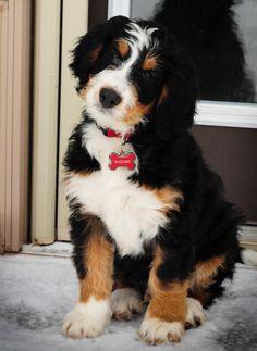 7 Best Bernadoodle Puppy Images Bernadoodle Puppy