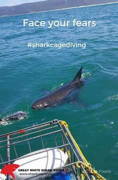 Shark Cage Diving with Great White Shark Tours in South Africa and see the White Shark in their marine habitat. Shark Cage, Apex Predator, Great White Shark, Sharks, Habitats, Diving, Whale, Tourism, Africa