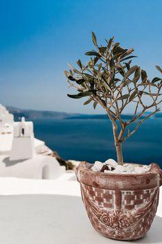 Little Olive Tree, Santorini, Greece