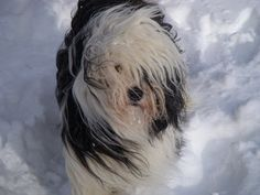 Gorgeous Tibetan Terrier in the snow. Great shot!