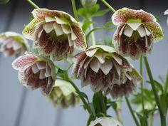 En ny og etterlengtet Helleborus til hagen. Garden Inspiration, Perennials, Plants, Pink, Cold, Plant, Perennial, Planting, Planets