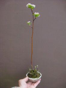 盆栽:アロニア |春嘉の盆栽工房