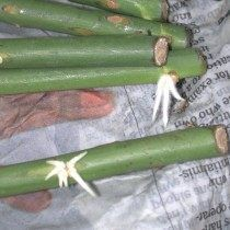 Best 11 New propagation idea for starting rose cuttings. She got roses to root by wrapping them in damp newspaper 'burritos'! Read the instructions before trying, important! == Pushing the Rose Envelope: Wrapping cuttings – SkillOfKing. Organic Gardening, Gardening Tips, Texas Gardening, Rose Cuttings, Rose Propagation, Rooting Roses, Growing Plants, Growing Greens, Plant Care