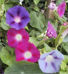 Ipomoea (Morning Glory Early Mix)