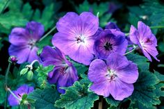 3 Geranium Rozanne plants hardy Chelsea shade perennial Summer- Winter flowering