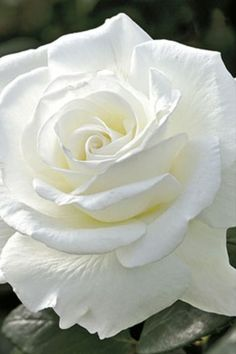 Sugar Moon, pure white rose, is absolutely gorgeous with repeat blooms and strong fragrance! Sure to be the talk of your garden! Beautiful Rose Flowers, Exotic Flowers, Amazing Flowers, Flower Bird, Butterfly Flowers, White Roses, White Flowers, Rooting Roses, Rose Garden Design