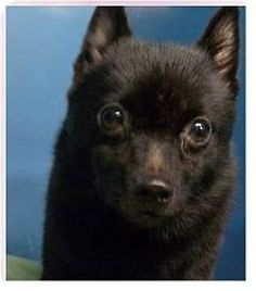 Pixie a Schipperke (Unknown Type, Small) Mix for adoption in Springdale, AR who needs a loving home.