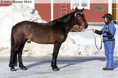 Finnhorse - stallion Hilkkerman Harness Racing, Show Jumping, Dressage, Country Of Origin, Finland, Pony, Horses, Colours, Animals