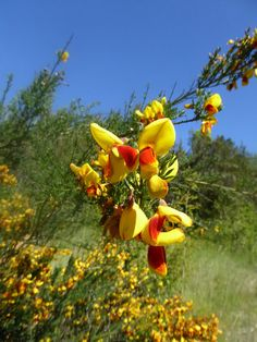 Linda DV (back again) posted a photo:  Argentina. Patagonia.  Chubut Province.  Los Alerces National Park.  These broom bushes were imported and are now very invasive.  Broom bushes grow very close to each other and impede the growth of the forest.  Great efforts are made to remove them from the park.