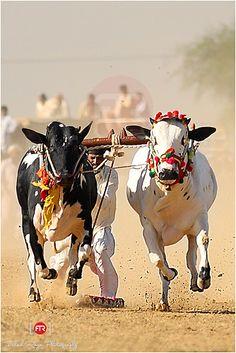 Bull Racing event at Kot Fateh, Fateh Jang, Punjab, Pakistan.