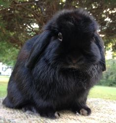 We just purchased a beautiful Black Holland Lop like this one. She is bred to a Broken Blue buck. Keep checking back for their baby bunny photos to reserve!