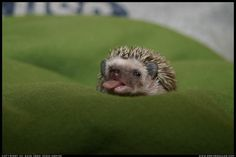 Baby hedgehog alone...super cute.  With tongue...words fail me.
