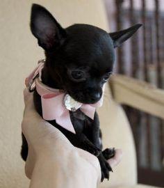 Stunning Teacup Black Chihuahua Princess Too Cute! Moving to North Carolin… Atemberaubende Teetasse schwarze Chihuahua-Prinzessin Too Cute! Black Chihuahua, Cute Chihuahua, Cute Puppies, Cute Dogs, Dogs And Puppies, Doggies, Teacup Chihuahua Puppies, Teacup Pomeranian, Little Dogs