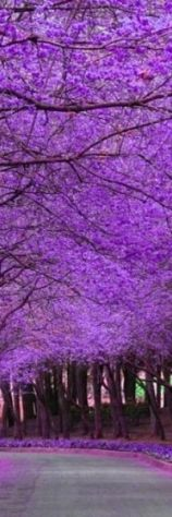 Jacaranda Tree Lane / Beauty of nature / purple / violet / flowers / Purple Love, All Things Purple, Purple Stuff, Purple Rain, Color Magenta, Purple Colors, Dark Purple, Beautiful World, Beautiful Places