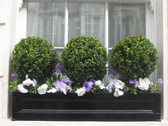Boxwoods in flower box, Chelsea