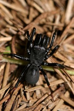 Purseweb Spider, male - Sphodros atlanticus   Purse Web Spider, male – Sphodros atlanticus Purse Web spiders are shiny black spiders, medium in size with an over-sized chelicerae. They have 8 sprawling legs and two body parts.