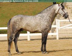 Lusitano - stallion Xadrez