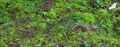 Best 25 Growing Moss Ideas On Pinterest Moss Garden