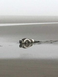 Rarely seen Arctic ribbon seal comes ashore in Washington