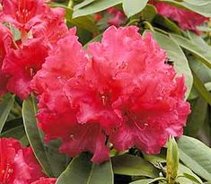 Rhododendron 'Britannia' has rose to scarlet colored flowers with slightly ruffled corolla edges.