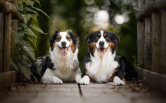Descargar fondos de pantalla Aussie, dogs, cute animals, Pastor Australiano