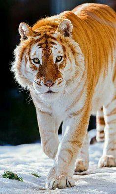 Tigre maravilhoso