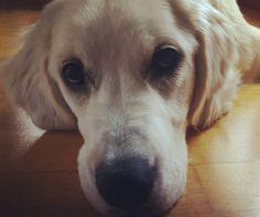 Se me cierran los ojos.  #goldenretriever #pet #mascota #dog #doglove #dogs #love #doglover #amorperruno #salamanca #igers #iger #igerssalamanca #instalike #instagood #instagram #picoftheday #picture #pictures #photography #photographer #photo #perro #perros