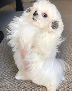 Maltese Puppies: Cute Pictures And Facts