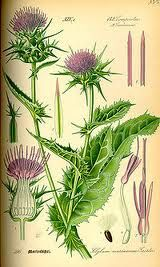 Silybum marianum, colloquially identified as Carduus marianus, known as milk thistle, is an annual or biannual plant of the Asteraceae family. This fairly typical thistle has red to purple flowers and shiny pale green leaves with white veins.