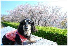 sakura2013 投稿者:yamamiさん