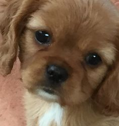 Ruby Red cavalier king Charles spaniel puppy
