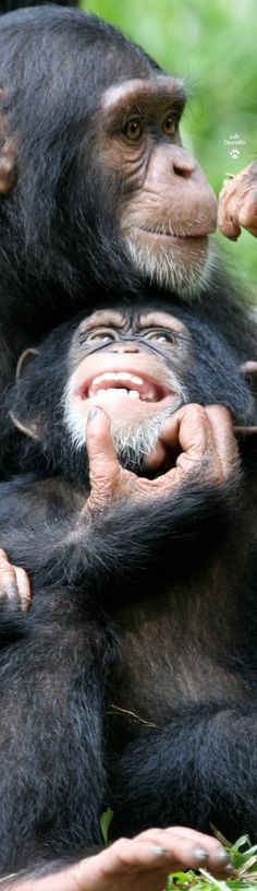 Chimpanzees - Mother Love. Baby's got some very white teeth!