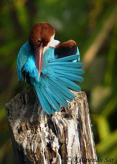 White-throated Kingfisher (Halcyon smyrnensis). Photo: Krisnendu Sar
