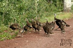 Merriams Wild Turkey - Find Me A Hunt Tom Turkey, Wild Turkey, Thunder Chicken, Hunting Outfitters, Big Game Hunting, Turkey Hunting, Birds, Fishing, Animals