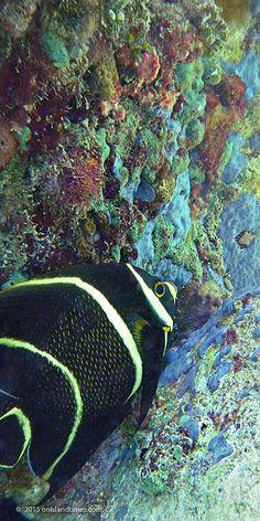 French Angelfish and colorful sponges off Little Lameshur Bay Beach, St John, USVI