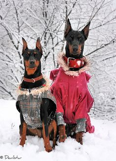 #doberman husband
