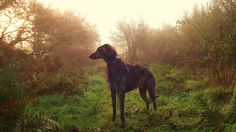 Obi, the Irish Wolfhound. Has his own Facebook page featuring himself at different Irish landmarks.