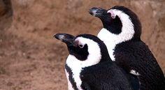 Unión gay entre pingüinos, Mundo - Semana.com - Últimas Noticias
