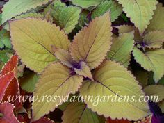 upright ) Tall and sturdy coleus with wide, golden-green leaves. Purple stems and highlights make for a great background plant in a pot or garden bed. Greenhouse Plants, Garden Plants, Balcony Garden, Garden Beds, Green Leaves, Plant Leaves, Online Nursery, Plant Catalogs, Great Backgrounds