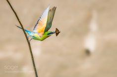 栗喉蜂虎 (LYPF / 成都 / 中国) #Canon EOS 6D #animals #photo #nature