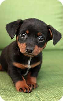 Chiweenie Puppy? Yes please! SO cute!!