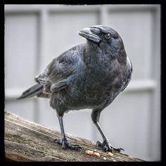 Wipe my beak would you? Full service at chez jim café! #birds #birdsofinstagram #birdstagram #birdphotography #walnut #pieces #deck #beak #claws #feathers #uccelli #fåglar #鳥類 #Kuşlar #птиці #مرغان #lintuja #aves #ocells #Pássaros by jimcallum