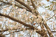 Vào tháng 3 bạn không khỏi ngất ngây trước những cây hoa ban trắng hồng, 1 hương vị đặc trưng của Mộc Châu nói riêng và Tây Bắc nói chung. Tháng 3 bạn còn được tham gia lễ hội hoa ban hay còn gọi là lễ hội hết chá tưng bừng của người Thái ở Mộc Châu.