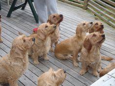Basset Fauve de Bretagne Puppies Listening to their Trainer