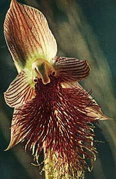 """Calochilus robertsonii -   A warm to cool growing terrestrial from Eastern Australian and New Zealand that flowers there from fall through winter on a 12"""" [30 cm] long, robust inflorescence with 2 bracts and up to 15 flowers. Flower Size 1"""" (2.5cm)"""